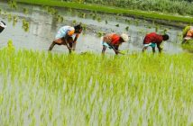 Vietnam Rice Paddy Industry