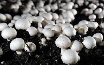 Global Mushroom Cultivation Market