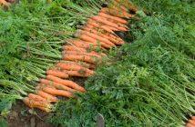 Global Carrot Harvester Market industry Analysis