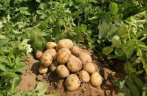 Global Potato Harvester Market industry Analysis